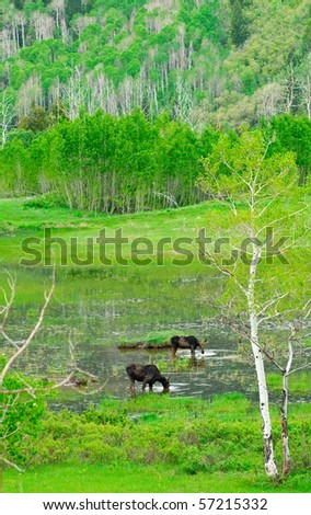 Family of moose feeding in a marsh in a mountain clearing