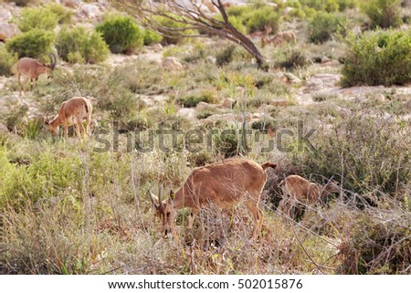 Family of nubian ibex in a dry grass