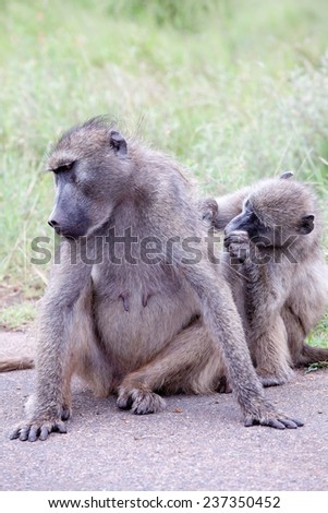 Family of Olive Baboon on the road. South Africa, Kruger National Park. - stock photo