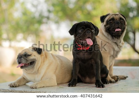 Family of pug. (Black puppy pug dog sitting between fawn pug dog on marble table.) - stock photo