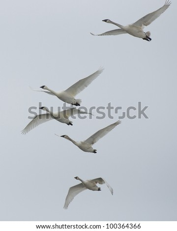 Family of Swans In Grey Sky - stock photo