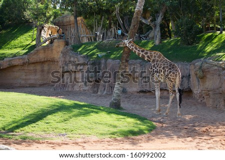 family of the Giraffe - stock photo