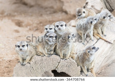 Family of the South African Meerkat (Suricate)