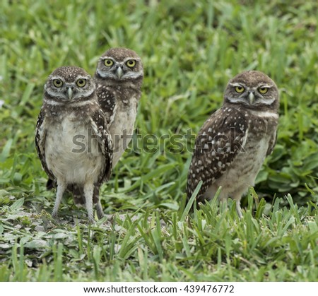 Family of three brown and white endangered burrowing owls with yellow eyes standing in green grass. - stock photo