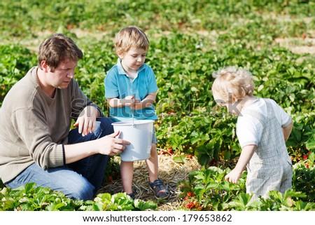 Family of three: father and twins boys on organic strawberry farm in summer, picking berries