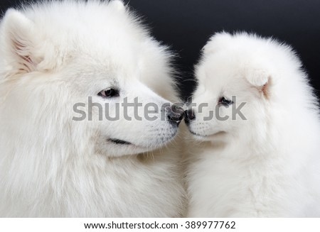 Family of two Samoyed dogs (isolated on a black background) - stock photo