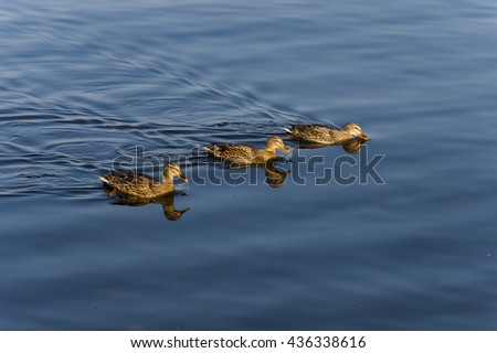 family of wild ducks in water