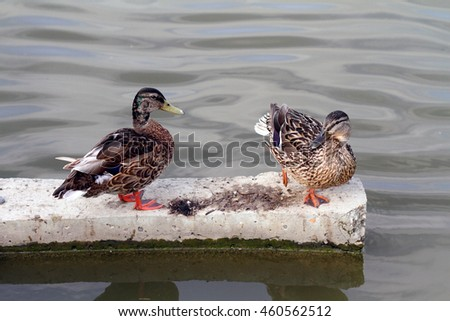 Family of wild ducks swimming in the water - stock photo