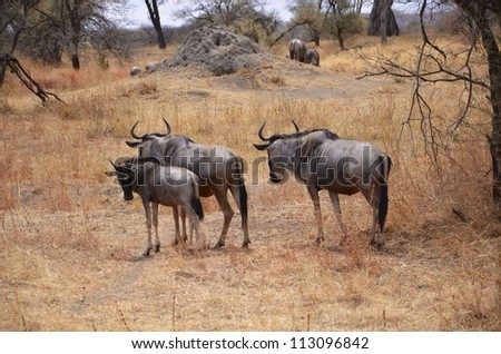 Family of Wildebeest - stock photo