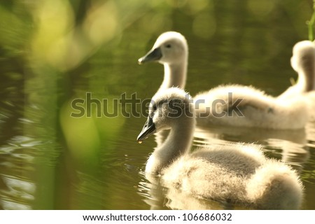 Family of young swans in a forest pond. - stock photo