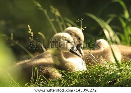 Family of young swans resting on the edge of the forest pond. - stock photo