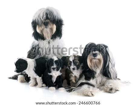 family tibetan terrier in front of white background