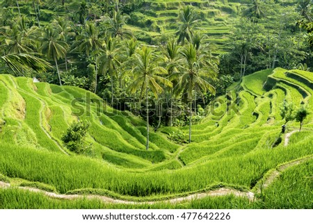 Famous attraction of Ubud - The Tegallalang  Rice Terraces in Bali, Indonesia
