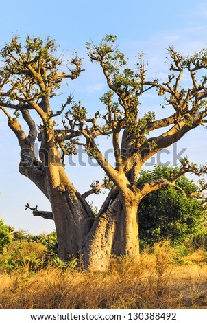famous baobab tree in Senegal, Africa - stock photo