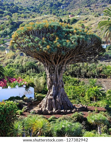 Famous Dragon Tree Drago Milenario in Icod de los Vinos  Tenerife, Canary Islands - stock photo
