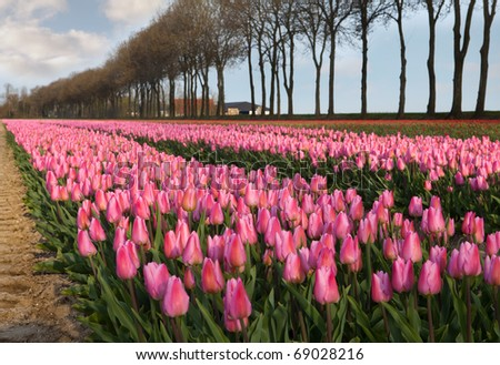 Famous Dutch bulb fields with millions of tulips in Holland - stock photo