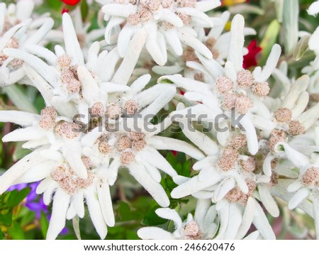 Famous flower Edelweiss (Leontopodium alpinum), symbol of alps - stock photo
