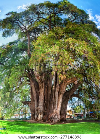 Famous 2000 year old Montezuma cypress tree, known as the 'The Tree of Tule' located in Santa Maria del Tule, Mexico. It is one of the oldest, largest and widest trees in the world - stock photo