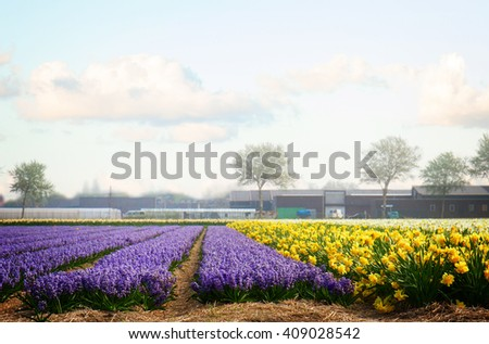 Famouse dutch blue hyacinth and yellow daffodil flower  rows on field, retro toned - stock photo