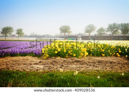 Famouse dutch blue hyacinth and yellow daffodil flower  rows on field, rtoned - stock photo