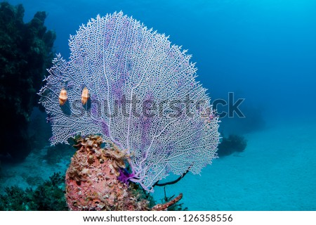 Fan coral with two Flamingo Tongues on a coral reef in the Bahamas - stock photo