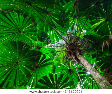 Fan Palm Tree Canopy.  Green foliage in the Daintree Rainforest, Queensland, Australia - stock photo
