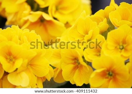 Fancy a greater amount of early evening primrose flowers and the - stock photo