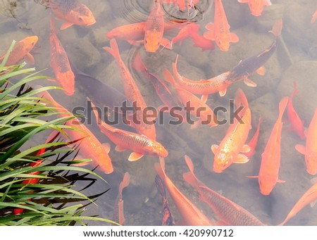 Fancy carp swimming in natural clear river - stock photo