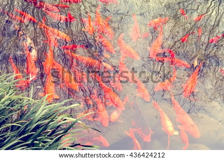 Fancy carp swimming under pattern water texture with reflex tree in natural river - stock photo