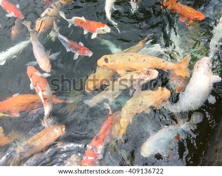 Fancy carps or Koi fish swimming at pond in the garden