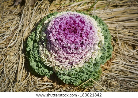 Fancy colored cabbage is grown as an ornamental plant. - stock photo