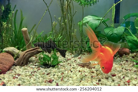 Fancy Fantail Glodfish Foraging in gravel substrate and Pleco cat fish resting on driftwood - stock photo
