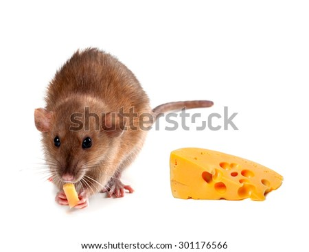 Fancy rat (Rattus norvegicus) eating  cheese. Isolated on white background.