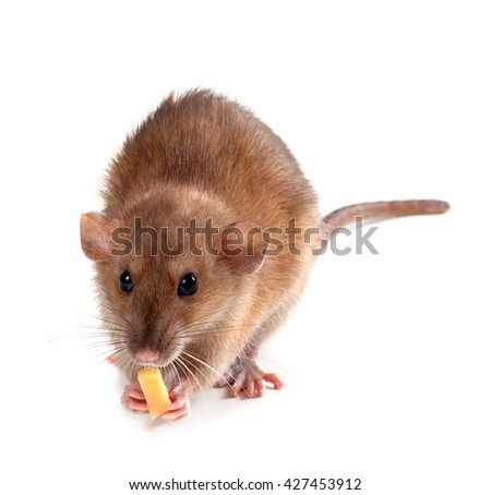 Fancy rat (Rattus norvegicus) eating piece of cheese. Isolated on white background. - stock photo