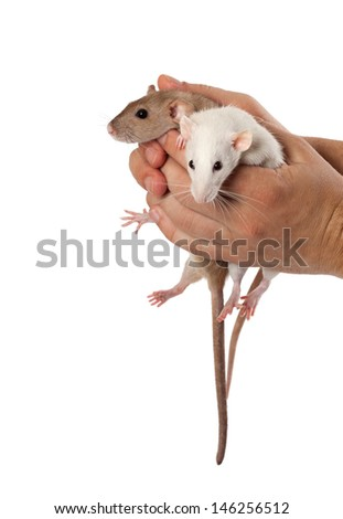 Fancy rats in hands. Isolated on white background. - stock photo