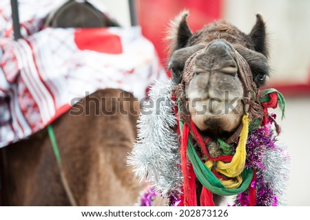 Fancy touristic camel  - stock photo