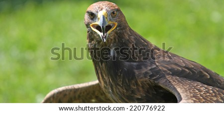 fantastic Eagle with open beak that looks the camera - stock photo