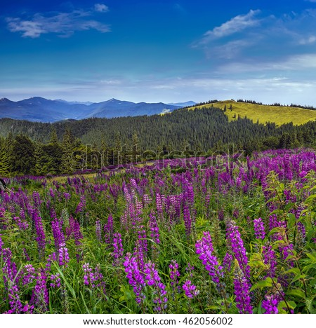 fantastic landscape. mountain meadow of purple lupine flowers on a sunny day. with majestic mountain peaks in the background. Beauty in the world. creative image of nature