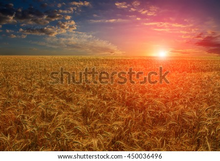 Fantastic view. wheat field at the sunset. Colorful overcast sky. The idea of a rich harvest concept. Rural landscape under shining sunlight. Soft lighting effects. for the design. creative images - stock photo