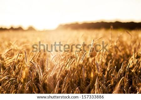 Fantastic wheat field at the sunset. Ukraine, Europe. Beauty world. - stock photo