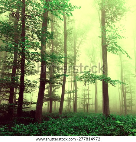 Fantasy yellow green foggy beech tree forest with mystic light. Color filter effect used. - stock photo