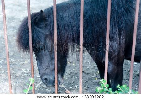 farm animal black pony behind a fence looking - stock photo