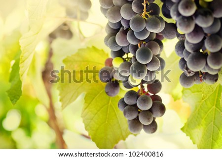 Farm concept with Fresh ripe grapes before harvest in vineyard - stock photo