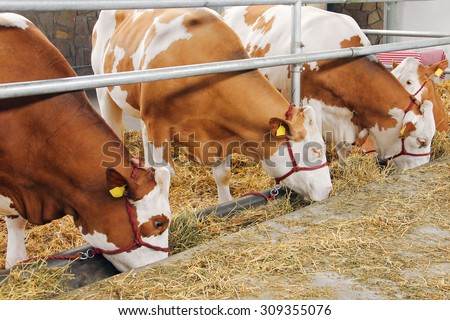 Farm cowshed with cows eating hay - stock photo