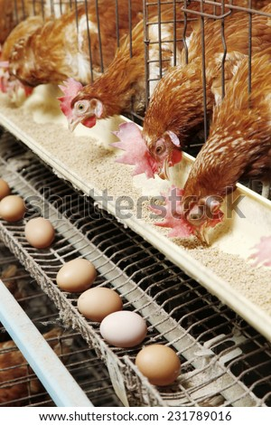 Farm egg production
