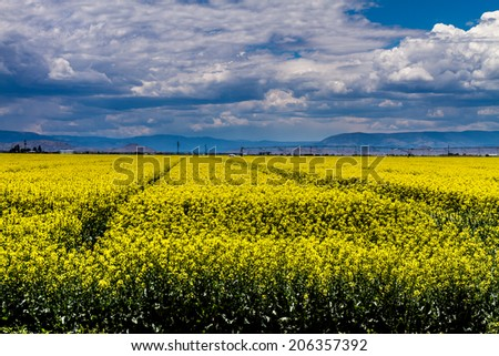 Farm field of blooming yellow canola seed on sunny summer day - stock photo