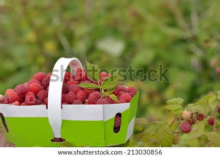 Farm-fresh raspberries in a basket beside a branch with ripe fruits - stock photo