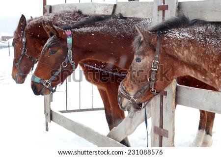 farm horses outdoors in winter - stock photo