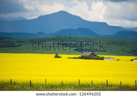 Farm house in field of canola in Alberta, Canada - stock photo