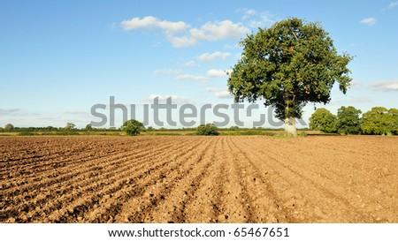 Farm Landscape of Bare Earth, an Oak Tree and a Beautiful Blue Sky - stock photo